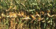 Les hybrides m3 possèdent un earflex (capacité de la plante à modifier sa programmation de l'épi) variable en fonction de la densité de semis. Photo : Pioneer.
