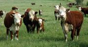 Croisée avec des femelles de race laitière, la race hereford donne des animaux petits et une viande rouge recherchée par les consommateurs français. Photo : Dave Willman-Fotolia.