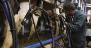 L'objectif du projet Optimir est d'utiliser l'ensemble du spectre MIR du lait pour prédire l'état physiologique d'une vache. Photo : A. Citron/Fotolia