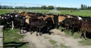 Les prix du lait sont faibles en Nouvelle-Zélande et devraient entrer dans une phase de redressement dans de nombreuses régions ces prochains mois. Photo : Thomas Launois-Fotolia