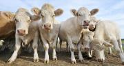 La production française de viande bovine devrait connaître cette année un rebond, fruit de la capitalisation laitière en 2013. Photo : Pascal Martin - Fotolia
