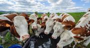 L'élevage laitier présente 3% du prélèvement d'eau en général pour l'abreuvement. Photo : Bernard 63-fotolia
