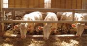 La filière viande bovine des Pays de la Loire a vu son cheptel baisser en dix ans. ©DR