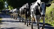 Près d'un million de vaches laitières seront à reloger d'ici 2025, estime l'Institut de l'élevage, qui vient de réaliser un chiffrage des besoins d'investissement en bâtiments pour les dix prochaines années. Photo : M.Ballan/Pixel image