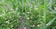 Le trèfle blanc nain colonise rapidement la ligne de semis et assure un contrôle des adventices. Photo : Justine Sourisseau – GRCeta SFA
