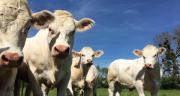 Les cotations du jeune bovin se redressent. CP : C.Lamy-Grandidier/Pixel6TM
