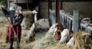 En élevage (bovin viande, bovin mixte, lait), plus de 92 % des jeunes installés de 2013 sont toujours exploitants agricoles en 2019. ©DR