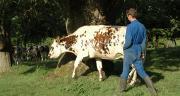 En Normandie, la part de quotas laitiers redistribués à de jeunes éleveurs atteint 27%. Crédit photo : H. Sauvage/Pixel Image
