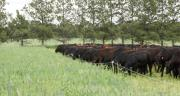 """Troupeau de vaches angus conduites en """"mob grazing"""" chez un des pionniers américains en la matière, Gabe Brown, Dakota du Nord."""