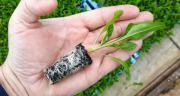 Minimotte de betterave au stade 3-4 feuilles, prête à planter. Photo : DR
