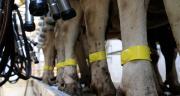 Lors du contrôle de performances laitières, Reymilk permet de tracer l'ensemble des process depuis le repérage des vaches jusqu'au gravage des informations sur l'échantillon à destination du laboratoire. Photo : BCEL Ouest