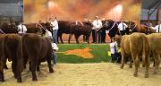 450 animaux provenant d'une centaine d'élevages de toute la France sont attendus à Cournon pour le 140e concours national de la race salers.
