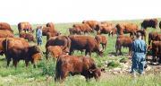 Avec 220 000 têtes, la race salers figure au quatrième rang des races bovines en France. Photo : Groupe Salers Evolution