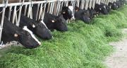"""""""De par sa ploïdie, Syntilla est plus riche en matière sèche. Elle offre un taux d'ingestion élevé et donc une sécurisation de la production animale"""" assure Semences de France. Photo : Semences de France."""