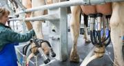 La collecte de lait de vache a continué de progresser en décembre (+ 1,1 % par rapport à décembre 2018) pour se situer, en cumul annuel, au niveau atteint fin 2018. CP : C.Helsly/Cniel.