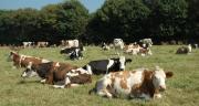 Selon les résultats de l'étude, la supplémentation en levure vivante permet d'améliorer le comportement alimentaire de la vache laitière, avec un allongement du temps de mastication et de rumination. CP : D. Bodiou/Pixel6TM