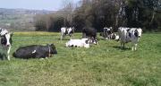Le rebond de production de viande bovine en France découlera surtout d'un afflux de femelles laitières. Photo : DR