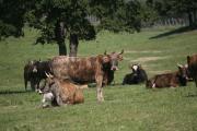 Les vaches tigres de Jacques Abbatucci pâturent toute l'année.