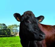 Filouse, représentante de la race rouge flamande, est l'égérie du Salon de l'agriculture 2015. Photo P. Parchet – SIA 2015