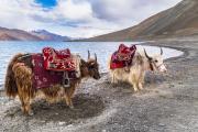 Le génome du yak contiendrait 1,3% de gènes d'origine bovine. © Sirintra/Fotolia