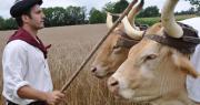Gilles Délas et ses vaches béarnaises. Photo : Fondation du patrimoine