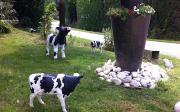 À l'EARL de la Choinette à Chasné-sur-Illet (Ille-et-Vilaine), on aime tellement les vaches qu'on en décore aussi le jardin. Photo: Nathalie Tiers/Pixel image
