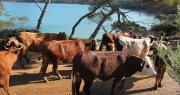 Une dizaine de génisses ont embarqué à destination de l'île de Porquerolles, le 9 février.