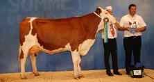 Fleur (Santon x Micmac), une vache de 4 ans appartenant au Gaec Cussac-Fouillet dans le Cantal, est la grande championne montbéliarde du Sommet de l'élevage 2014. Photo : DR.