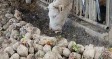Les vaches peuvent consommer les betteraves entières, ou en morceaux grâce à des distributrices hacheuses. Photo : N. Tiers/Pixel image