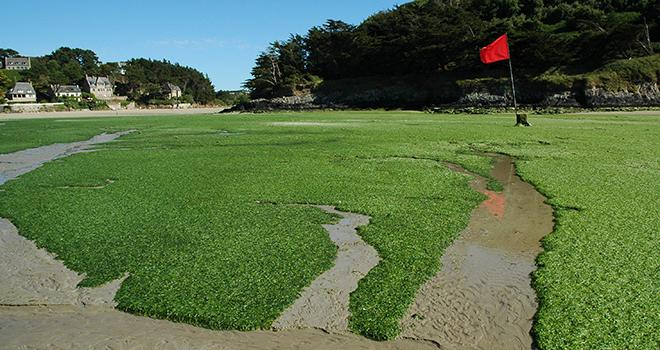 Et si les algues venaient soigner les élevages. Ici des algues vertes échouées sur une plage. Photo : DR