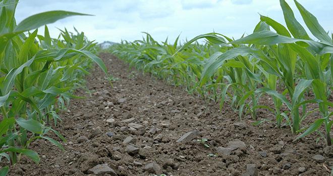 La concurrence des adventices s'exerce précocement sur la culture de maïs, dès le semis et jusqu'à ce que la végétation recouvre l'inter-rang, c'est-à-dire vers douze feuilles. Dans ces conditions, une lutte précoce est vivement recommandée, pour conserver tout le potentiel de la parcelle. Photo : H. Grare/Pixel image
