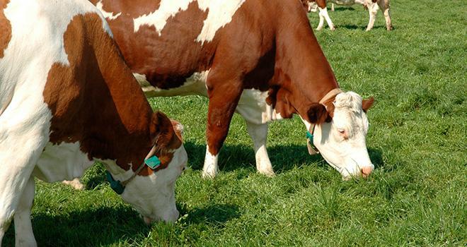 Les besoins en magnésium sont plus élevés en période de mise à l'herbe, notamment pour prévenir la tétanie d'herbage. ©Pixel6TM