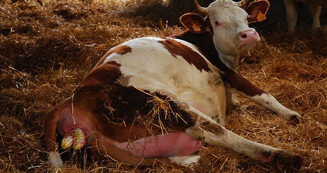 Un nouveau né mort dans les 12 heures qui suivent la mise bas est considéré comme un avortement. Photo : M. Lecourtier/Pixel image