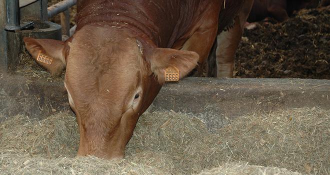 La région Champagne-Ardenne dispose des ressources alimentaires pour l'élevage de bovins. Photo : DR.
