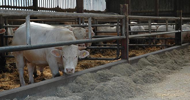 Les régimes à base de luzerne et de trèfle violet pour l'engraissement des jeunes bovins montrent un intérêt à la fois économique, agronomique et écologique. Mais la culture de luzerne ou de trèfle violet nécessite des surfaces aux dépens des autres cultures. L'agriculteur doit veiller à ne pas dégrader l'autonomie en énergie et en paille de litière. Photo : H.Grare/Pixel Image
