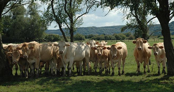 Sans transport, les bêtes sont moins stressées avant l'abattage et la qualité de la viande s'en ressent. Photo: H. Grare / Pixel Image