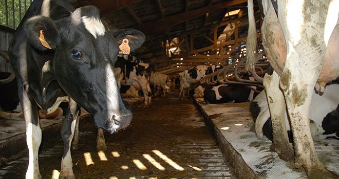 Piétix, aliment complémentaire naturel proposé par le laboratoire Biodevas, agit sur la dermatite digitée en stimulant le système immunitaire. Sa distribution est recommandée dès que 15% des vaches laitières présentent des lésions dues à la maladie.