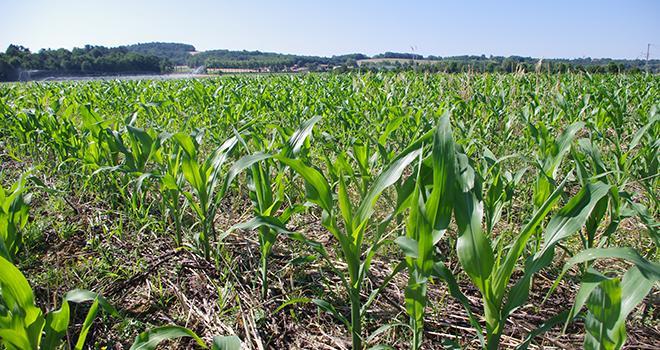 L'ajustement de la dose d'engrais azotés à la parcelle passe par un calcul des besoins en azote du maïs et des fournitures totales en azote du sol.