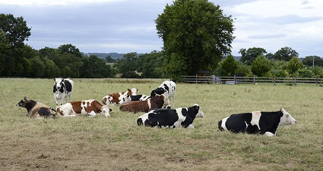 La forte baisse du prix du lait à la production entraîne une forte chute du revenu des éleveurs en 2015, d'autant que dans certaines régions la canicule et la sécheresse ont affecté la production par vache. Photo : A. Cotens/ Pixel image