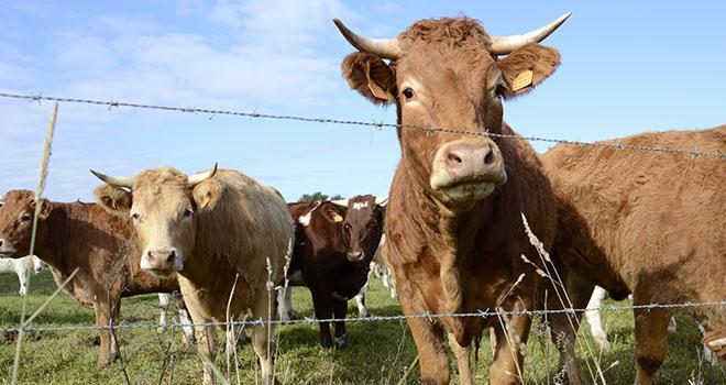 Les 4 pays partenaires sont représentatifs de la production de viande bovine des secteurs laitiers et allaitants. Photo: A. Cotens/Pixel image