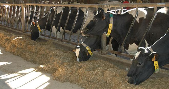 L'alimentation et l'abreuvement sont deux facteurs à surveiller de près en hiver. Il faut permettre aux vaches de maintenir leur chaleur corporelle tout en continuant à produire du lait. ©H.Flamant/Terroir Est
