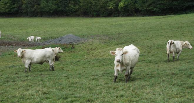 Avec 57 000 têtes, les abattages de vaches allaitantes sont en repli de 8 % sur un an.  CP : H. Grare/Terroir Est