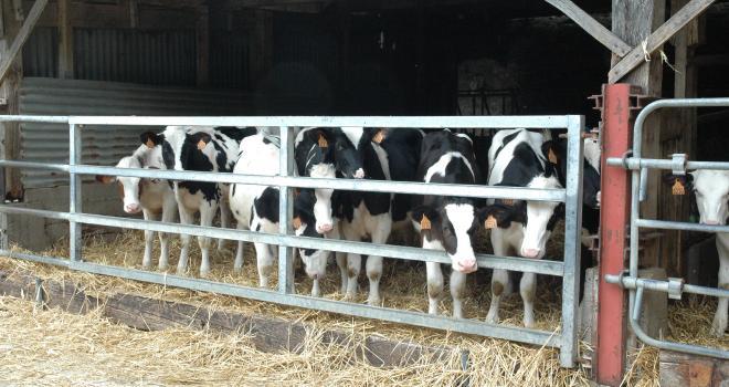Limiter les rations en lait et augmenter le niveau de concentrés dès la troisième semaine préparent mieux les veaux au sevrage. CP : M-D.Guihard/Pixel6TM