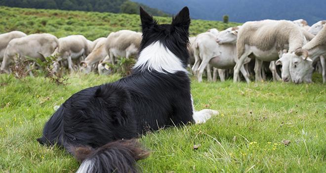 Faites recenser votre chien de protection des troupeaux ! ©mobilise248/AdobeStock