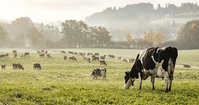 Après une hausse estivale, la collecte laitière diminue en septembre. © AdobeStock/Fredy Thürig