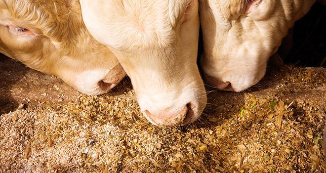Le maïs grain humide peut compléter des rations à base d'ensilage de maïs ou d'herbe conservée. CP : Tof Locoste/Adobe Stock