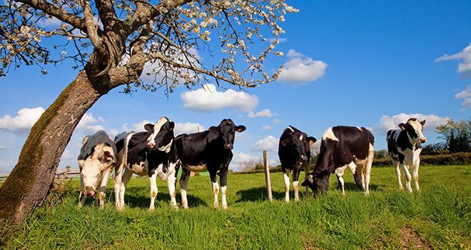 La gestion du pâturage présente de nombreux avantages techniques et économiques pour les génisses et les différents systèmes d'exploitations laitières. ©Thierry RIO/Adobe Stock