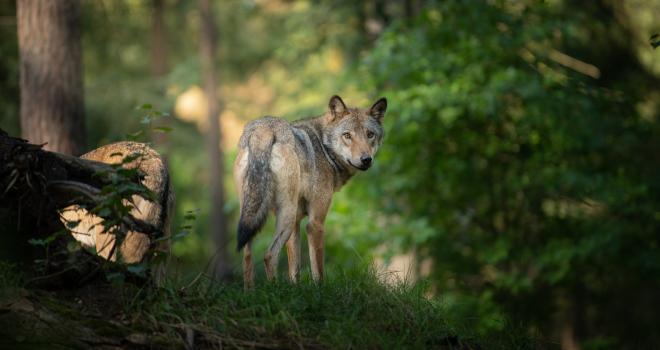 Le Caf loup dit stop à la fin du calvaire pour les éleveurs. CP : Dennis/Adobe Stock