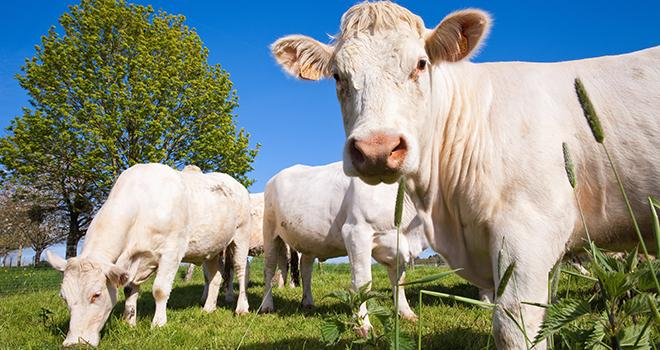 Les cours des vaches allaitantes continuent de progresser. ©  AdobeStock/Thierry RYO