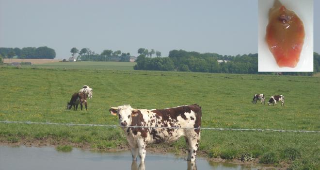 Le pâturage dans les zones humides favorise la contamination par les métacercaires. CP : P. Camuset/JMN.